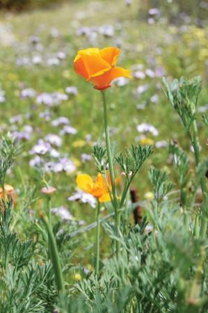 California poppy / photo by Leah Heagy