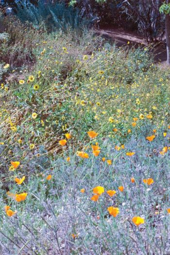 Flowers fill the landscape in springtime at the Rancho Santa Ana Botanical Gardens. / photo by Leah Heagy