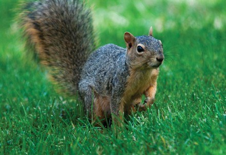 Innocent looks aid the deception as this fox squirrel scampers across the green lawns of the University of La Verne.
