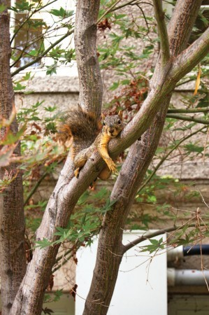Tree hugger for a moment, a red fox squirrel makes itself comfortable as it looks down on scurrying University of La Verne students.