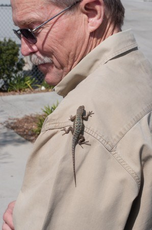 Jeff Burkhart caught this Western Fence lizard on the south side of the University Sports Science Athletic Pavilion in the middle of an early spring day. Lizards are cold-blooded and emerge when the weather warms up. They will not appear in cold weather or extremely hot weather. / photo by Katherine Careaga