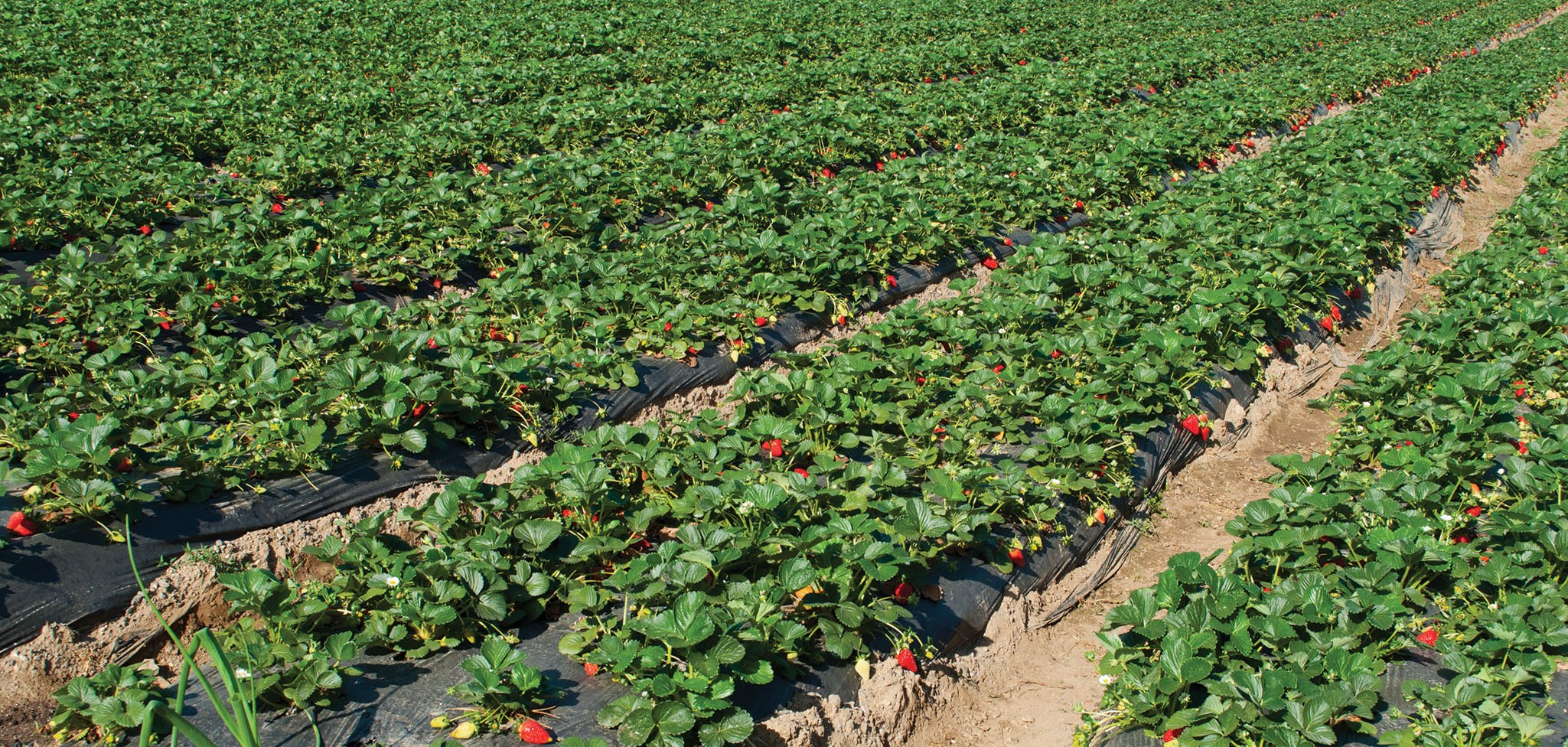 Field strawberries: useful properties and contraindications, photo 71