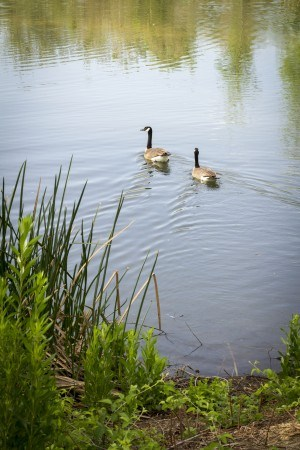 A pair of Canadian geese paddle in one of the four creeks at the 22-acre Chino Creek Wetlands and Educational Park. In 2011 the Wetlands became a Certified Wildlife Habitat site by the National Wildlife Foundation. / photo by Celine Dehban