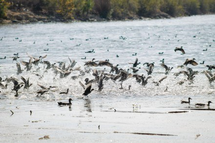 A flock of mallards and American coots takes off and creates a disturbance on the surface of Puddingstone Lake. The waterfowl can be found interacting with each other near the shore of the lake. / photo by EmilyLau