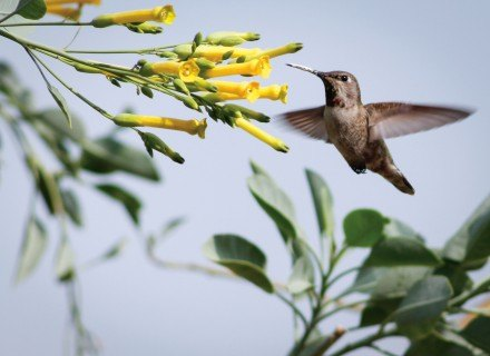 A juvenile Anna's hummingbird flutters from flower to flower in search of more nectar. Males are easily recognizable by their bright pink throat feathers, but females and juveniles are dull in comparison. The birds also help with plant pollination when collecting nectar by spreading pollen to other locations. / photo by Emily Lau
