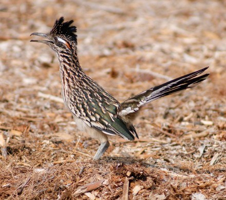 A greater roadrunner, with its beak agape, shows off its crest as it looks in the direction of the object that piqued its interest. Greater roadrunners may not be able to fly as well as other birds, but they have been known to reach running speeds of up to 20 miles per hour. They are native to the deserts of the southwestern United States. / photo by Emily Lau