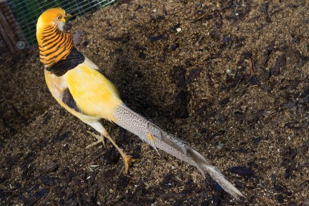 The golden pheasant lives in one of Planet Rehab's aviaries alongside parakeets and rabbits. Planet Rehab rescues hundreds of birds that originate from North and South America, Europe and Asia. / photo by Meghan Attaway