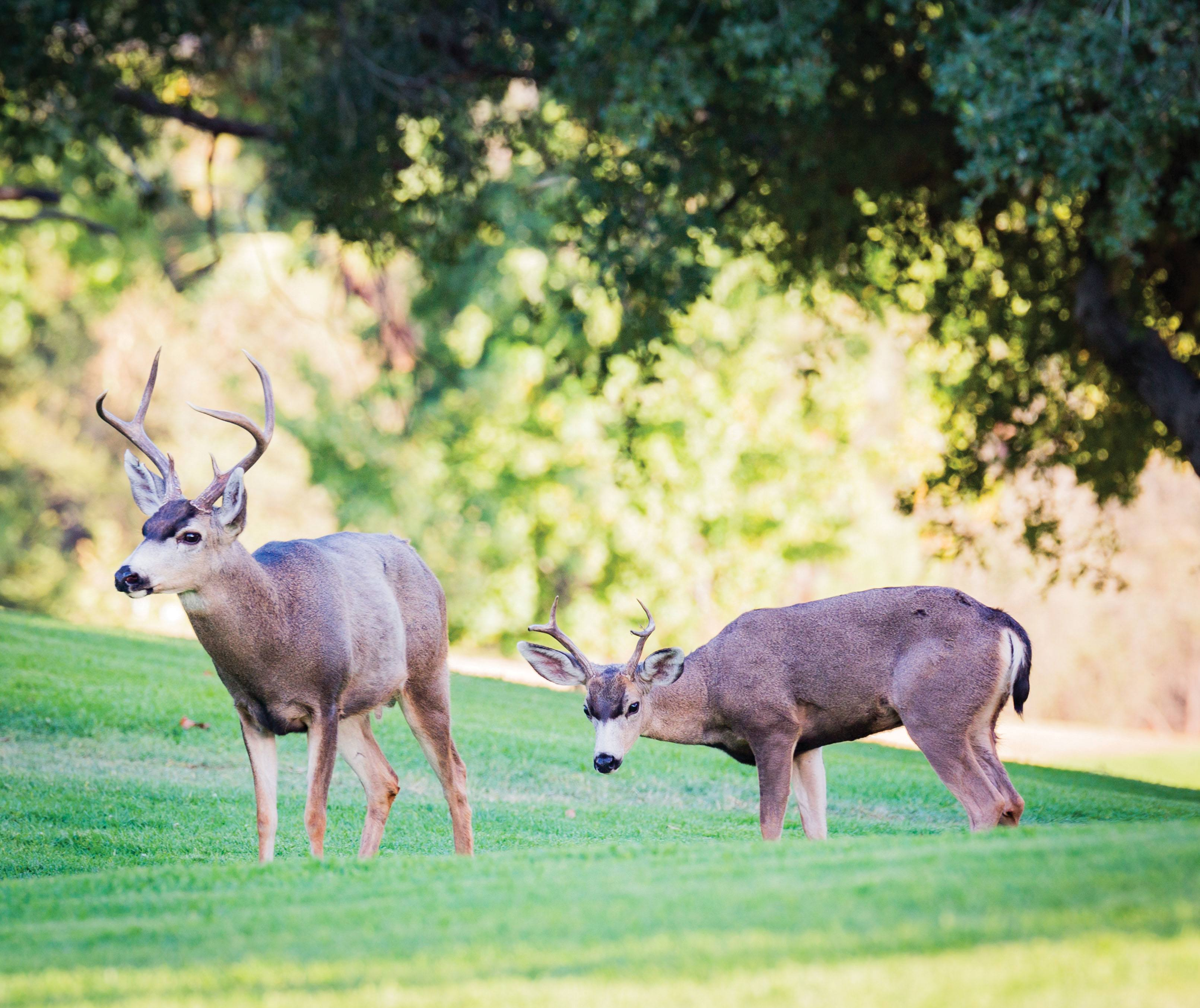 deer trail black single men Men's hunting hiking  locating deer first off, trail cameras indicate the presence of deer in  he says particularly in a sequence of photos of a single.