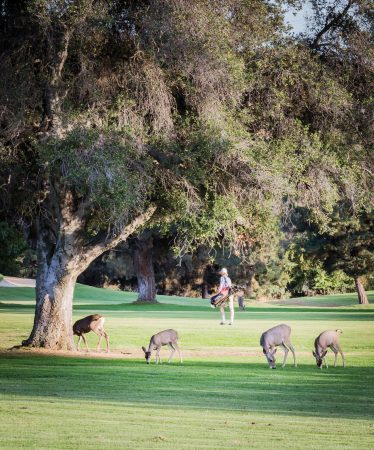 It is common for golfers to walk amongst deer grazing throughout Marshall Canyon Golf Course. Golfers often encourage the deer to move to another grazing area in order to play their round. / photo by Megan Peralez