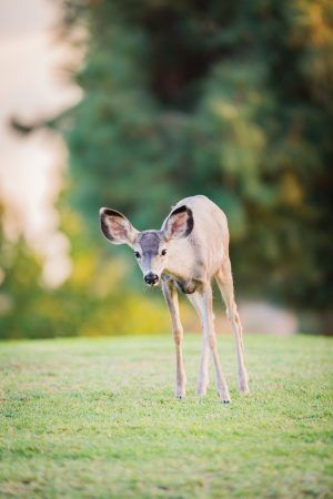 The deer at Marshall Canyon Golf Course are black tails, a sub-species of the mule deer, known for their mule-sized ears. Their ears provide them with excellent hearing that goes along with their incredible sense of smell and eyesight. / photo by Megan Peralez