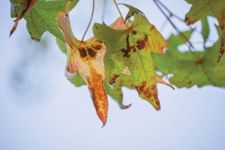 As seen in the liquid amber leaves, the drought has caused a multitude of trees across the city to be infected with bacterial leaf scorch, caused by the bacterium Xylella fastidiosa. Scorched leaves develop when sufficient water does not reach the leaf margin cells. / photo by Janelle Kluz