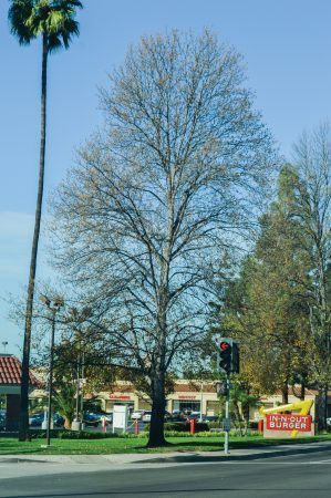 Trees at Foothill Boulevard and D Street visibly show stress. The city of La Verne has more than 11,000 street and park trees. A 2015 study conducted by West Coast Arborists, Inc., calculated these trees to be valued at nearly $40 million. / photo by Janelle Kluz