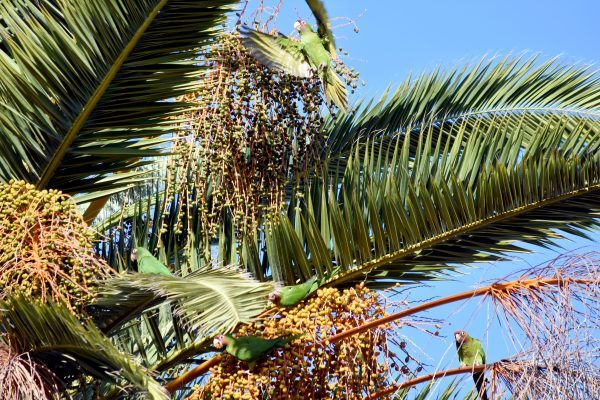 Wreaking havoc on their favorite meal, a pandemonium of red-masked parakeet feasts on the fruit of a date palm in Newport Beach, California. / photo by Rex Sample
