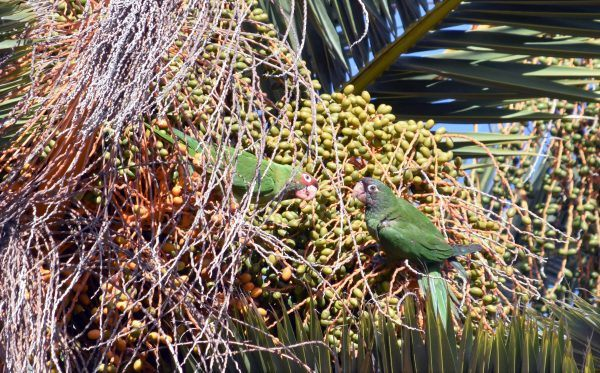 Taking a breather from dining in the treetops overlooking Newport Beach and Costa Mesa, California these red-masked parakeets keep an eye peeled for predators or for a thief trying to sneak a quick and easy meal. / photo by Rex Sample