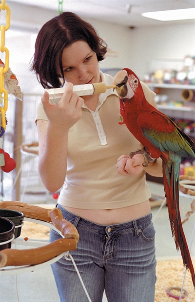 Like feeding a baby of her own, Wendy Johnson, a Citrus College zoology student, keeps to a macaw's meticulous feeding schedule. / photo by Jenna Campbell